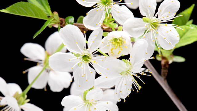 4K Time Lapse blooming tree