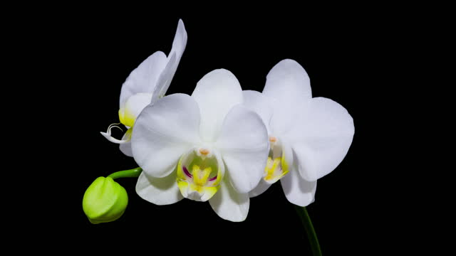 Time Lapse - Blooming White Orchid Phalaenopsis Flower with Black Background