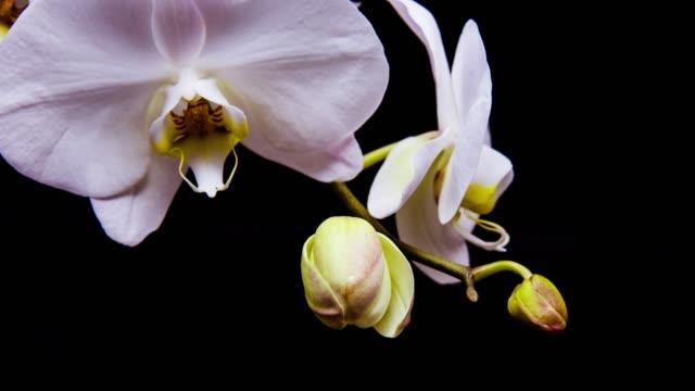 zeitraffer-blooming weiße orchidee blume mit schwarzer hintergrund mother - orchidee stock-videos und b-roll-filmmaterial