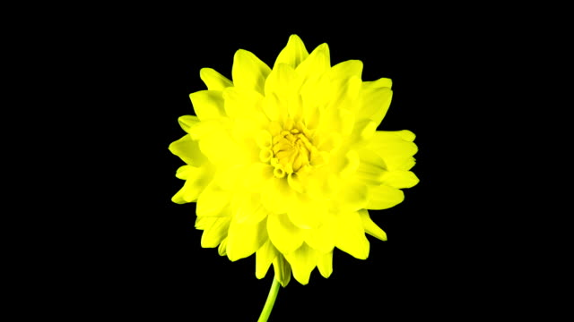 zeitraffer-blooming gelbe rosen blume mit schwarzer hintergrund - einzelne blume stock-videos und b-roll-filmmaterial