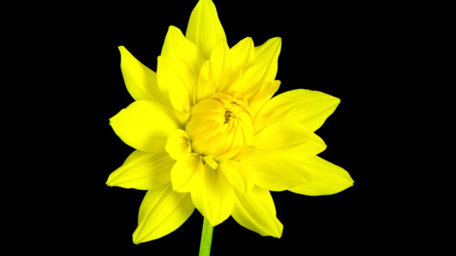 Time lapse - Blooming Yellow Dahlia Flower with black background video