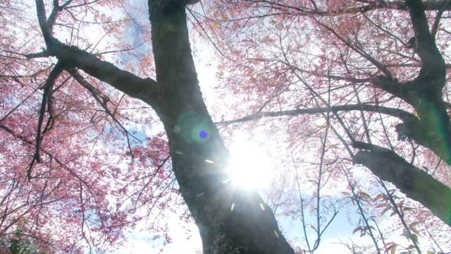 HD Time lapse: Cherry blossom under sun ray in spring video