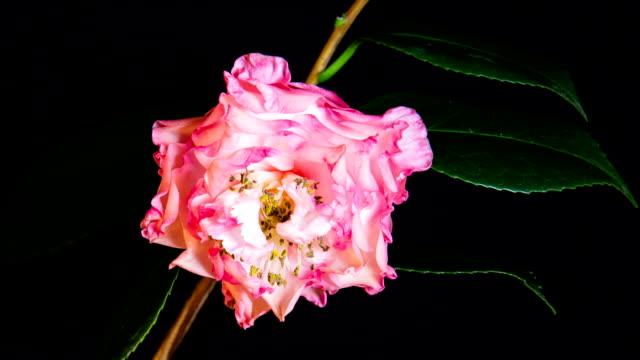 stockvideo's en b-roll-footage met time-lapse - bloem camellia blossom met zwarte achtergrond - camelia white