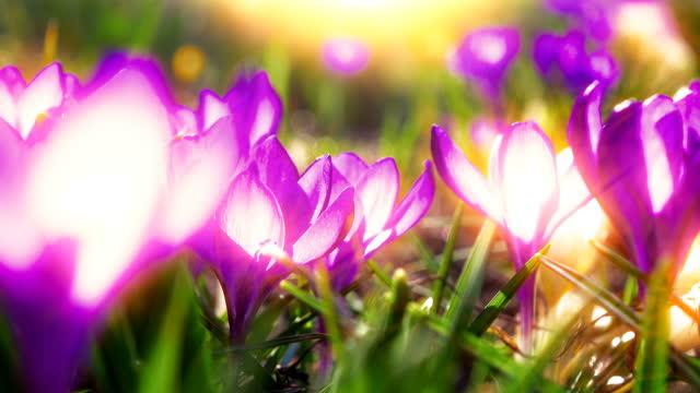vidéos et rushes de floraison de crocus de fleur de laps de temps - crocus