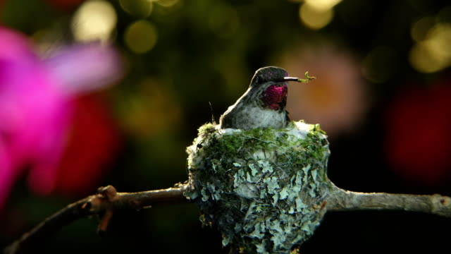 Time lapse footage of hummingbird on nest and visiting flower with pan and zoom video