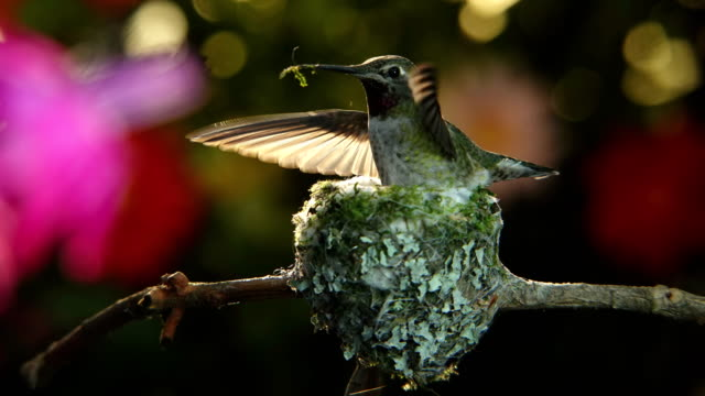 zeitraffer-aufnahmen mit zoom und schwenk eines kolibris, der ihr nest baut - nest stock-videos und b-roll-filmmaterial
