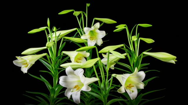 Time Lapse Lilies Opening