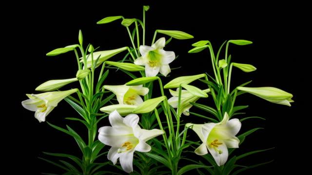 time lapse lilies opening - lilia filmów i materiałów b-roll