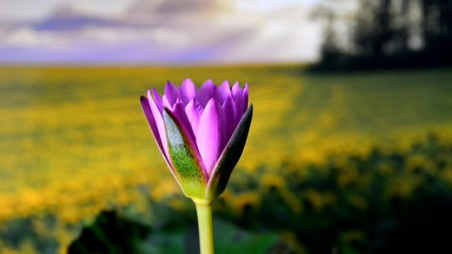 time lapse, lotus flower blooming, hd video