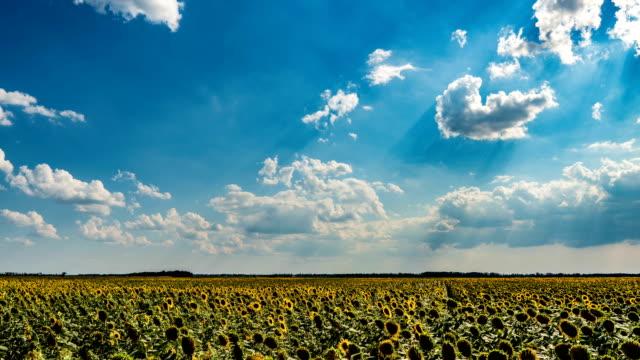 ヒマワリ畑の上に美しい曇り空の時間経過、美しい夏の風景 - ヒマワリ点の映像素材/bロール