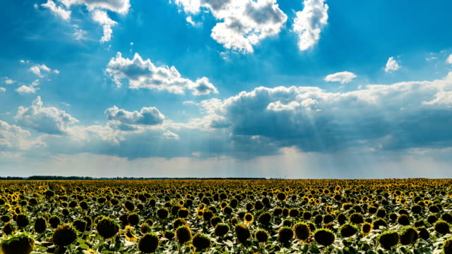 Time lapse of a beautiful cloudy sky over a sunflower field, beautiful summer landscape