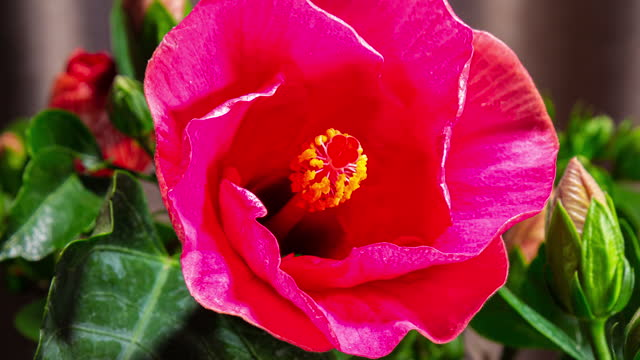 Time lapse of a blooming red hibiscus flower