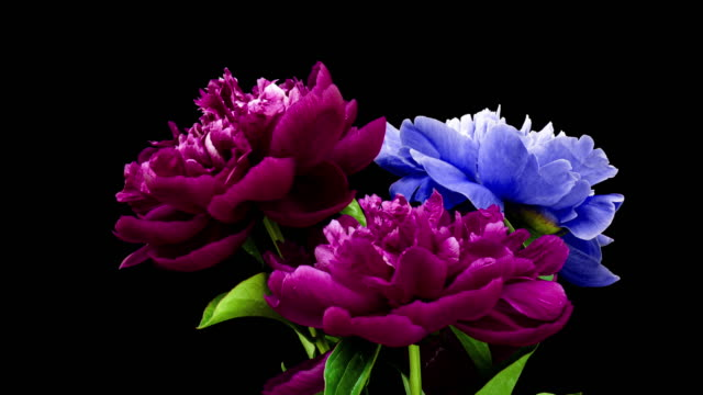 time lapse of a bunch of burgundy and blue peonies blooming on a black background. Blooming peonies flowers open, close-up. Wedding background, Valentine's Day. 4K UHD video. time lapse of a bunch of burgundy and blue peonies blooming on a black background. Blooming peonies flowers open, close-up. Wedding background, Valentine's Day. 4K UHD video bunch stock videos & royalty-free footage