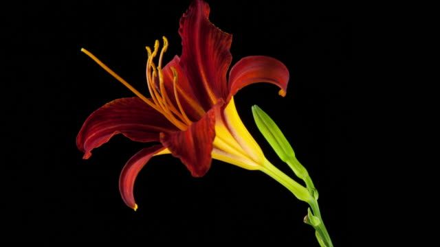 Time Lapse of a Day Lily blooming and then dying