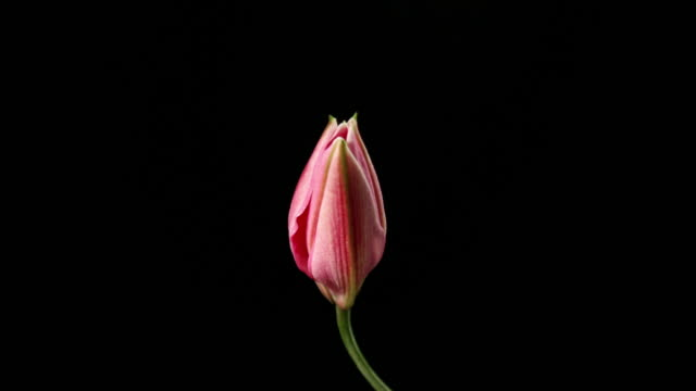 time lapse di una lily blooming - fiori video stock e b–roll