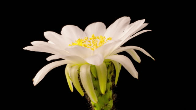 Time Lapse Of A White Flower Opening On A Cactus