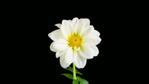 vídeos de stock e filmes b-roll de time lapse of a whitel dahlia blooming - florescer