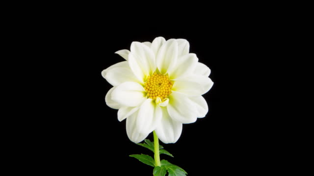 time lapse of a whitel dahlia blooming - in fiore video stock e b–roll