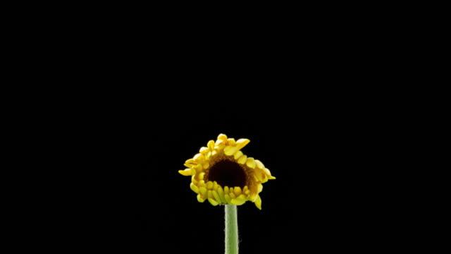 vídeos de stock e filmes b-roll de time lapse of a yellow daisy opening - florescer