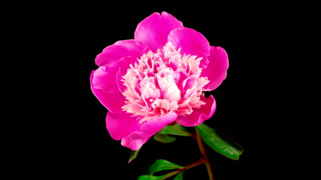 Time Lapse of Beautiful Pink Peony Flower Blooming