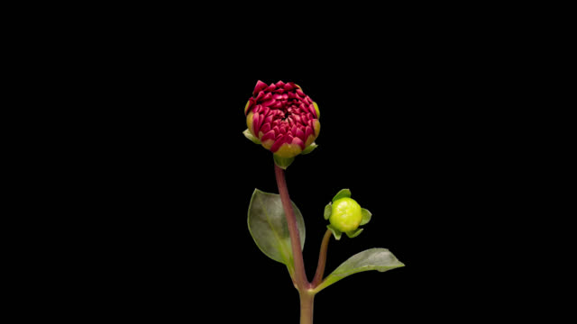 4K Time lapse of blooming flower Dalia 4K Time Lapse of blooming Red Flower. Beautiful Dalia opening up. Timelapse of growing blossom big flower with green leaves on black background. blooming time lapse stock videos & royalty-free footage