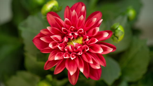 4K Time lapse of blooming flower Dalia