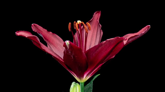 Time lapse of blooming Lily flower