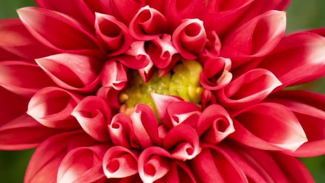 Time lapse of blooming red flower Dalia
