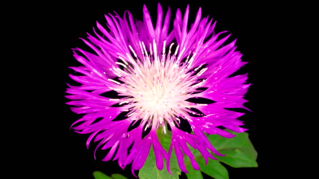 Time Lapse of Blossoms Purple Flower of Persian Cornflower Centaurea Dealbata video