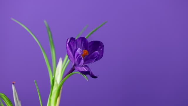 tidsfördröjning av klarblå eller violett lila krokusar eller saffranblomma som blommar på lila eller violett bakgrund. - tulpan bildbanksvideor och videomaterial från bakom kulisserna