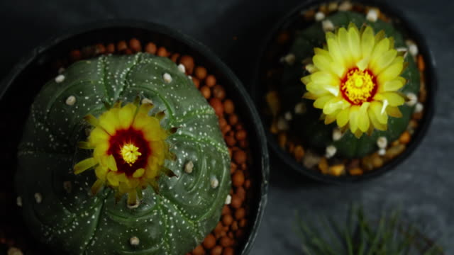 Time lapse of cactus flowers opening, Fowewrs of Astrophytum asterias kikko, Park and garden concept and free copy space. Time lapse of cactus flowers opening, Fowewrs of Astrophytum asterias kikko, Park and garden concept and free copy space. flower pot stock videos & royalty-free footage