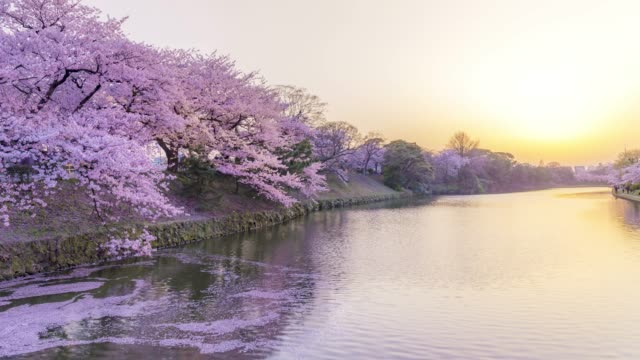 vídeos de stock e filmes b-roll de time lapse of cherry blossom flowers reflected on river in sunset - cidade de quioto