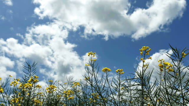 Time lapse of clouds passing over rapeseed flowers video