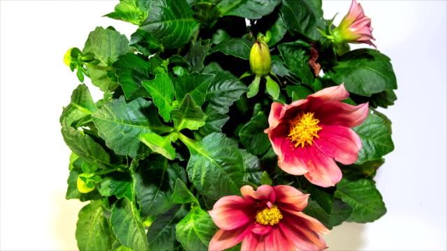 Zaman atlamalı Dahlia çiçek çiçeklenme video