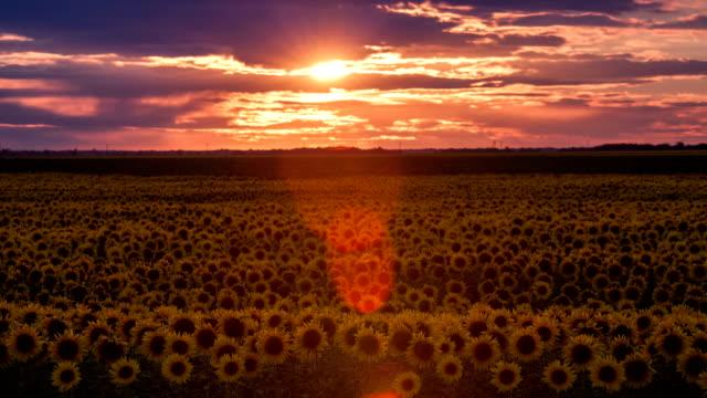 時間流逝的黃昏與太陽和向日葵田野,廣角鏡頭上移動的雲。 - 亞洲中部 個影片檔及 b 捲影像