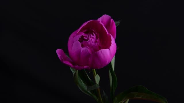 time lapse of flower of peony - główka kwiatu filmów i materiałów b-roll