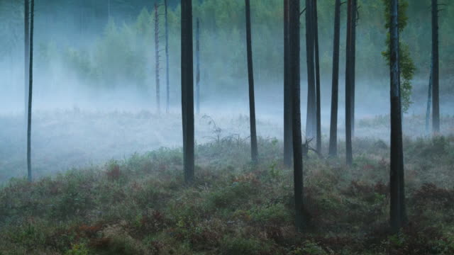 Time lapse of fog flowing through pine tree forest video