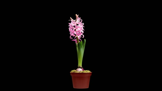 vidéos et rushes de 4k time lapse de fleur de hyacinthe - fleur flore