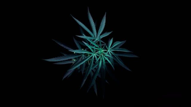 time lapse of motion of branch of marijuana time lapse of motion of branch of marijuana marijuana herbal cannabis stock videos & royalty-free footage