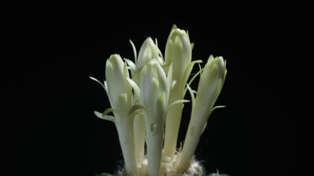Time lapse of night blooming discocactus flowers, Pot of disco cactus on black background, succulent pot plant for decorative in house, shoot in studio, free space for text. Park and garden concept.