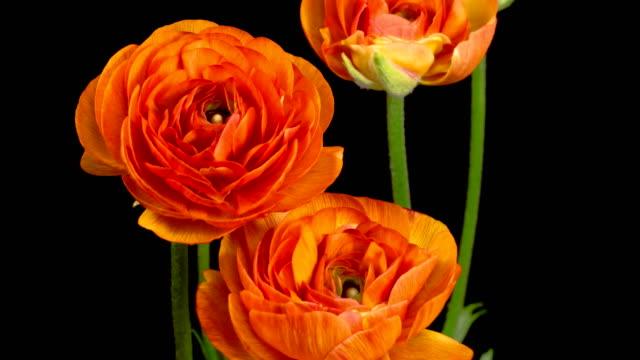 Time Lapse of Opening Orange Ranunculus Asiaticus Flower