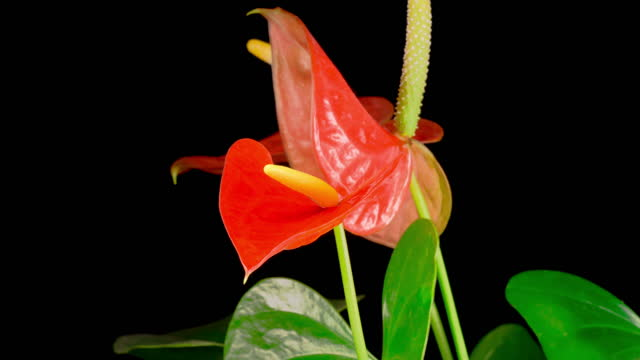 Time Lapse of Opening Pink Anthurium Flower video