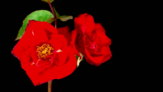 Time Lapse of Opening Red Rose Flower video