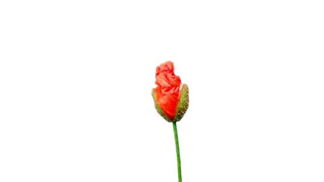 vídeos y material grabado en eventos de stock de lapso de tiempo de la apertura de la flor amapola silvestre, aislado en blanco con máscara alfa. - amapola planta