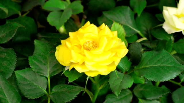 Time Lapse of Opening Yellow Rose Flower video