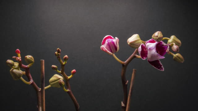 Time lapse of pink Orchid flower blooming on dark grey background.