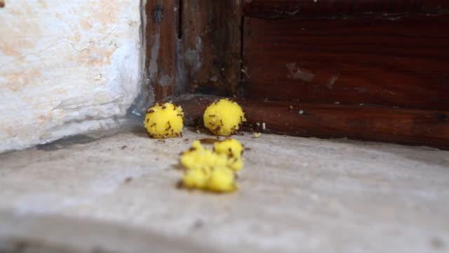 zeitraffer von vergifteten gelben kugeln gegen ekelhafte ameisen. nahaufnahme von entkommenden ameisen mit giftigen lebensmitteln. kampf gegen heimische schädlinge zu hause - fischköder stock-videos und b-roll-filmmaterial