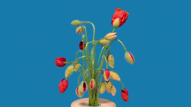 vídeos y material grabado en eventos de stock de 4k time lapse de flores de amapola - amapola planta