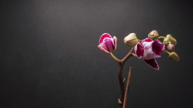 Time lapse of purple Orchid flower blooming on dark grey background.