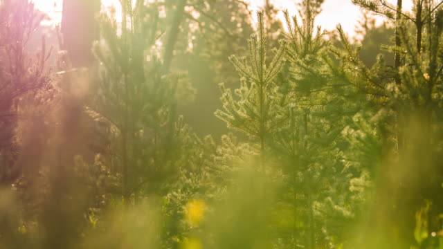 Time lapse of sun rays shining through pine trees video